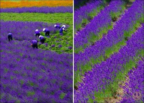 Уборка цветов Лаванды