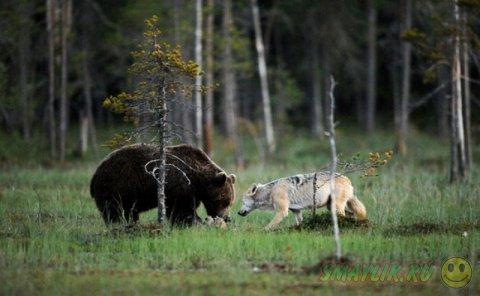 Необычная дружба между серой волчицей и бурым медведем